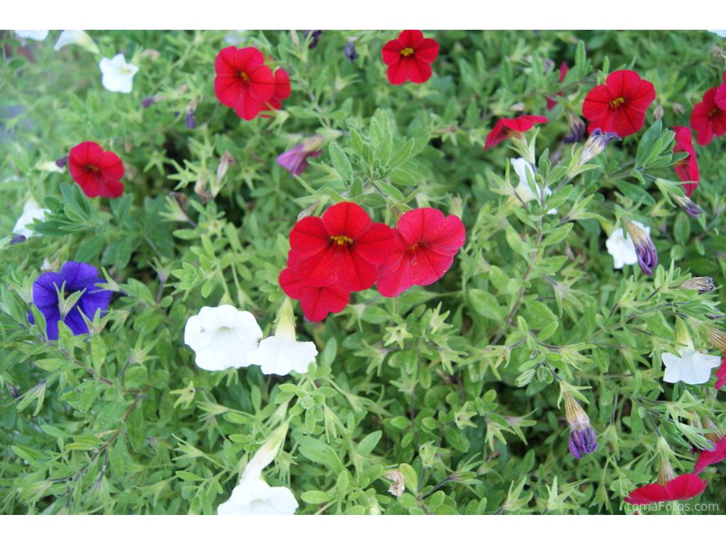 Flores Rojas Blancas Y Azules